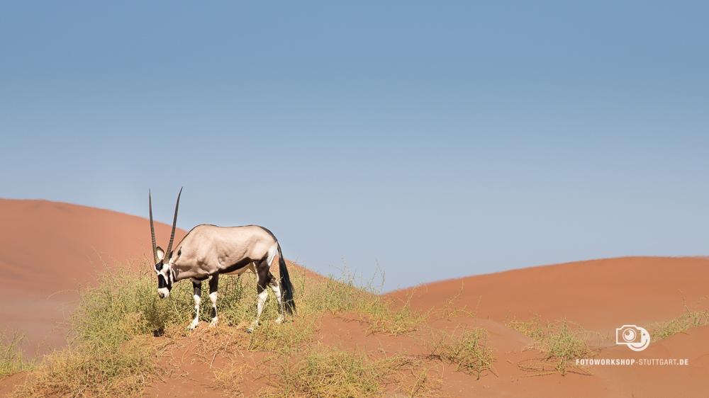After- Oryxantilope