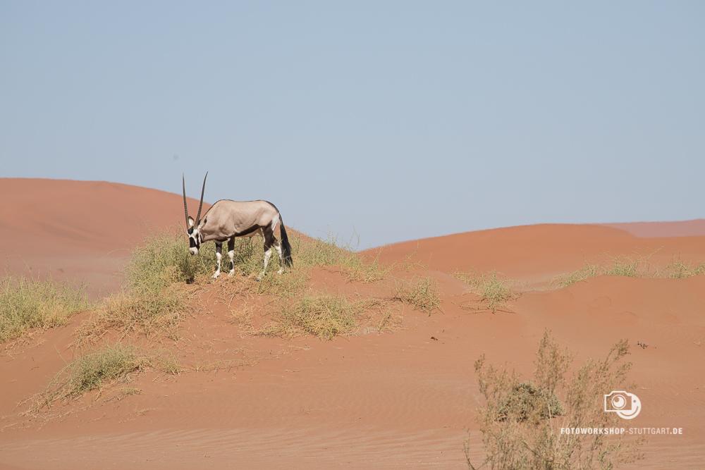 Before- Oryxantilope